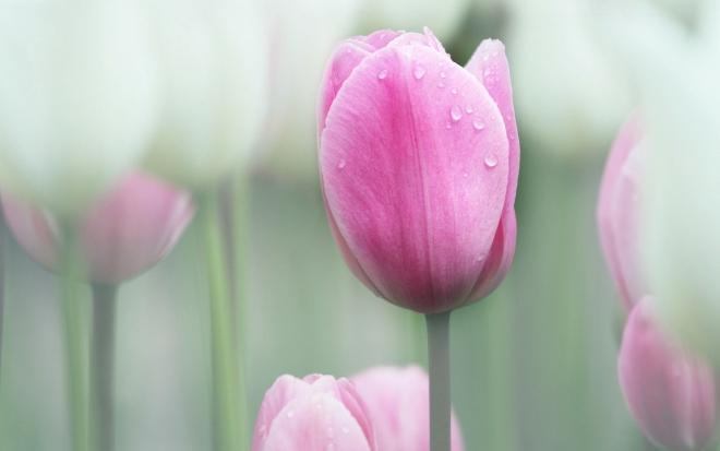 pink wallpaper tulip