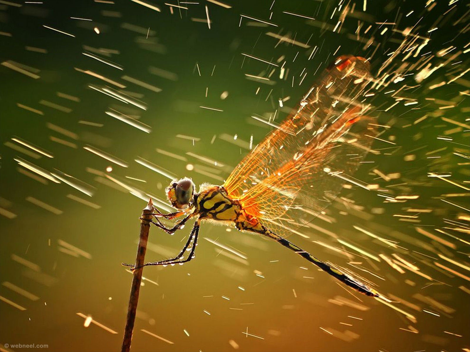 rain wallpaper dragonfly