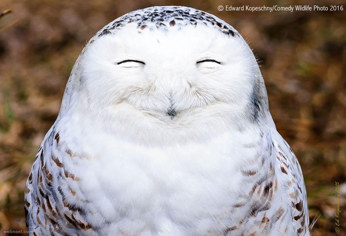 laughing owl comedy wildlife photography by edward kopeschny