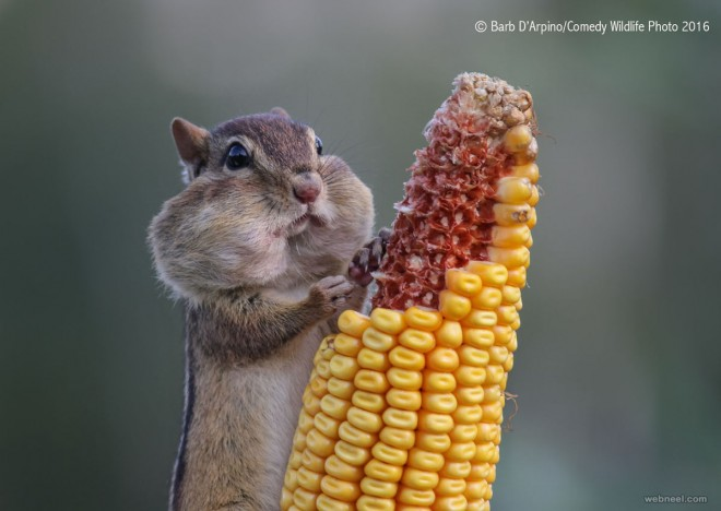 hungry squirrel comedy wildlife photography by barb darpino