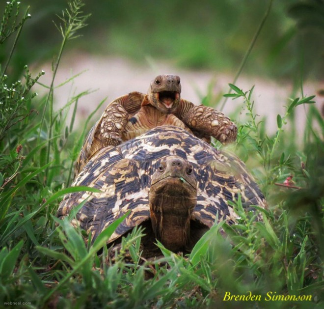 happy tortoise comedy wildlife photography by brenden simonson
