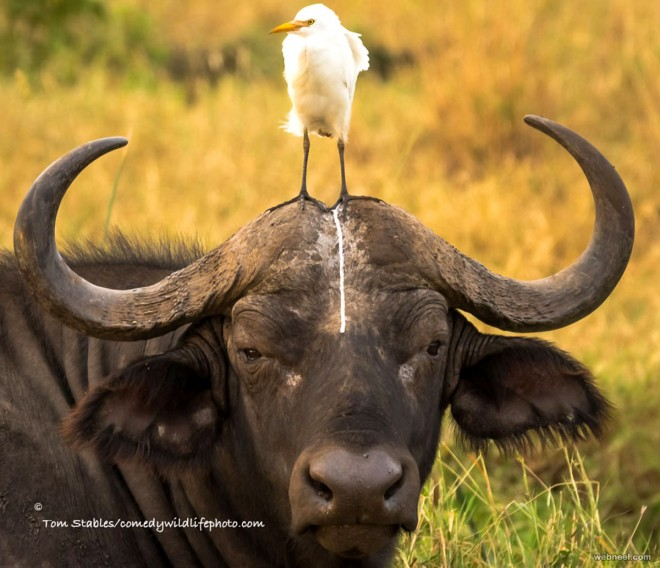 bull poo comedy wildlife photography by tom stables