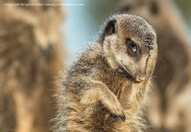 sneak a glance comedy wildlife photography by brigitta moser