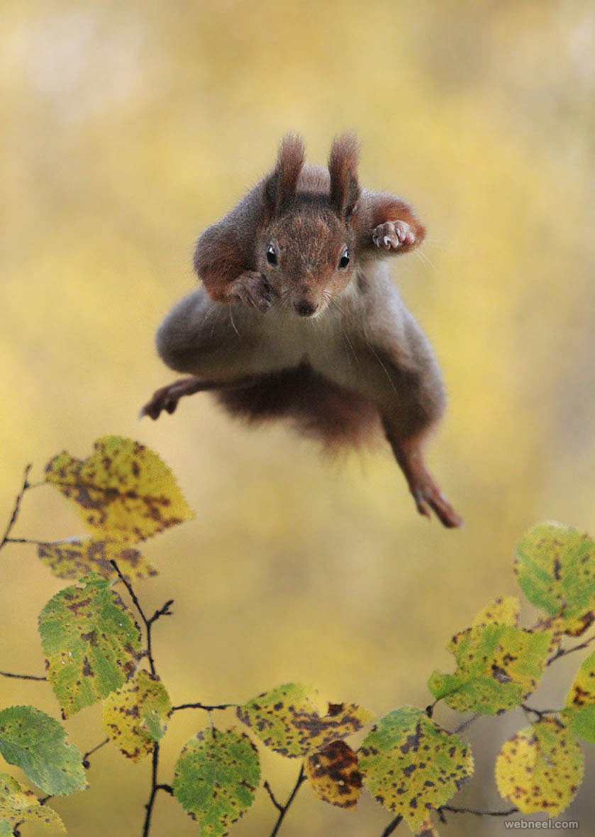 flying squirrel comedy wildlife photography