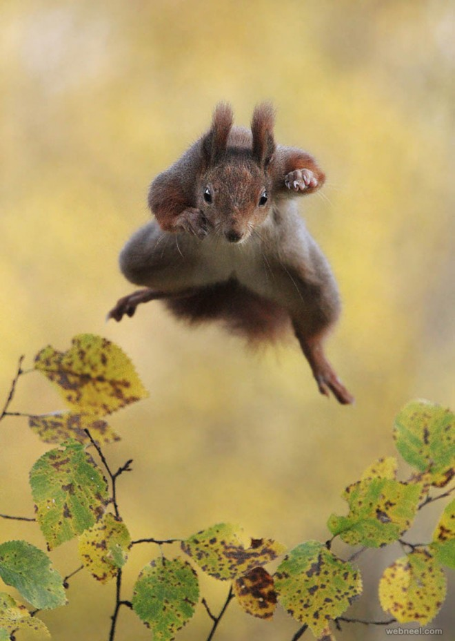flying squirrel comedy wildlife photography by julian rad