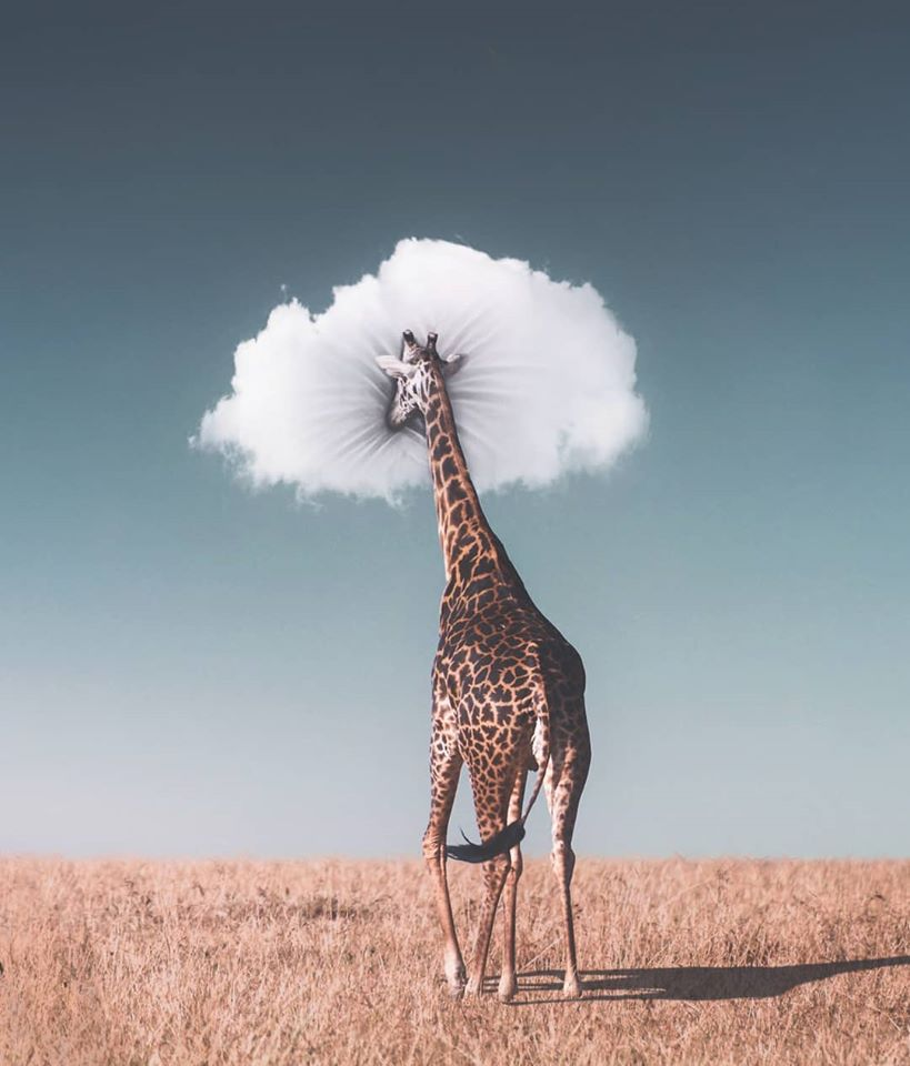 photo manipulation giraffe