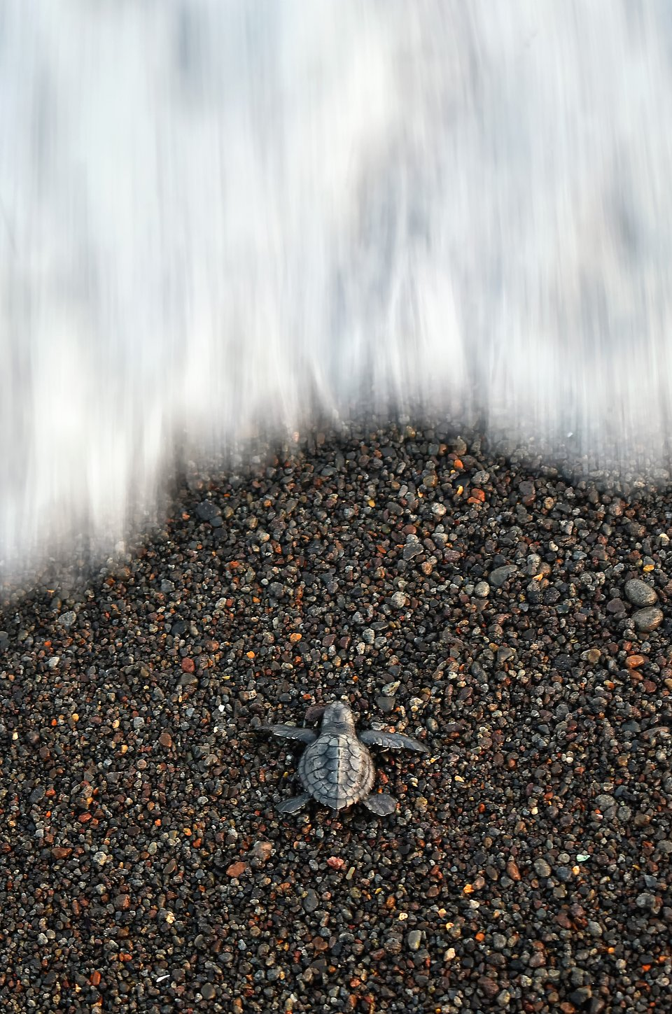 award winning micro photography baby turtle by pantai
