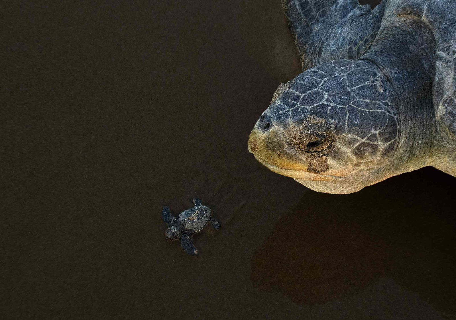 award winning young and old olive turtles photography by arghya adhikary