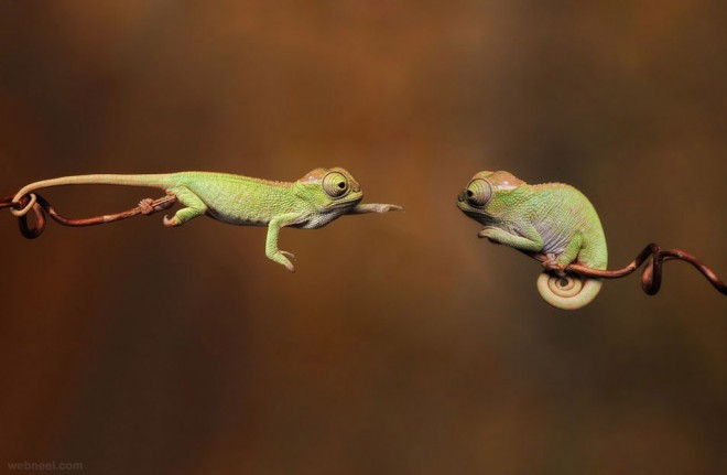 baby chameleons best wildlife photography