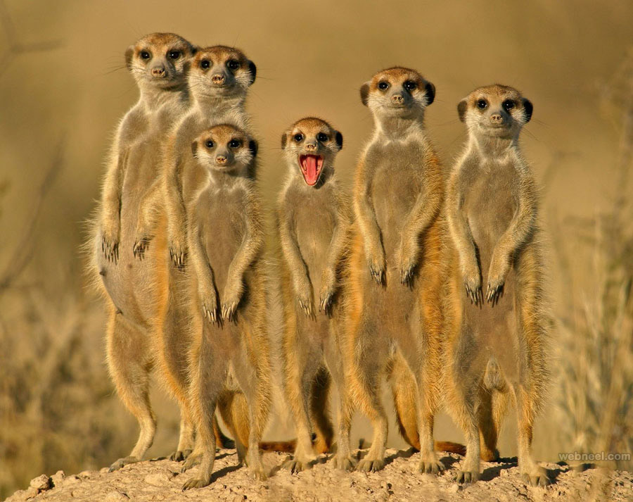 best wildlife photography meercats