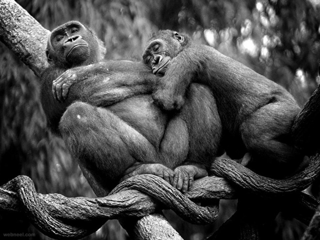 best wildlife photography gorillas