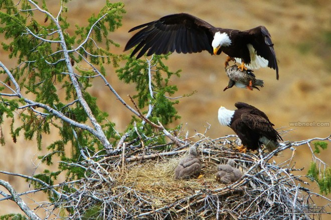 the male bald eagle brings in a duck for