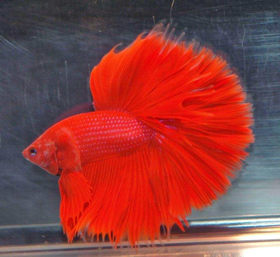 beautiful red fish