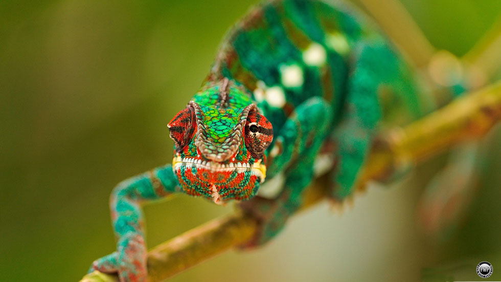 chameleon macro photography