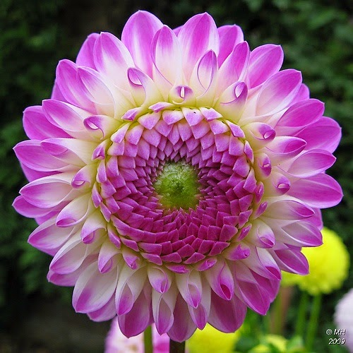 dahlia flower by maria h