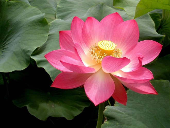 pink lotus flowers  photography