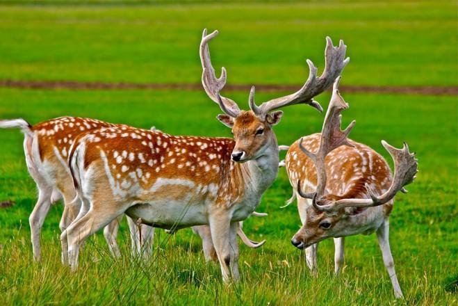 red deer wildlife