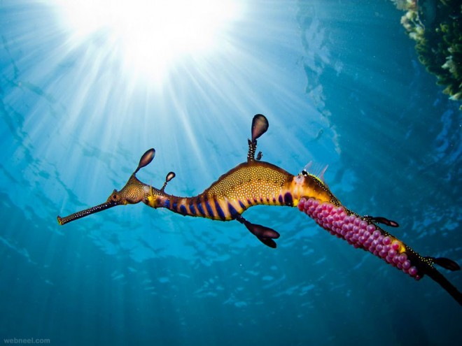 male weedy seadragon underwater photography