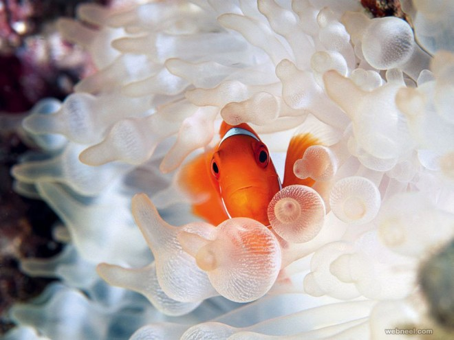 clownfish bubble tipped underwater photography