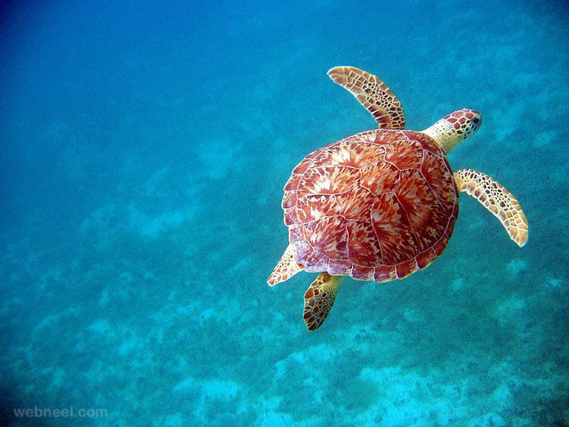 turtle underwater photography