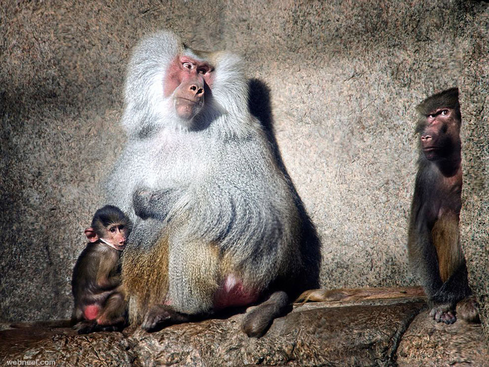 baboons photography