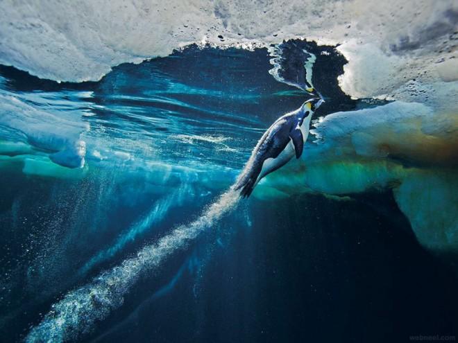 emperor penguin underwater photography