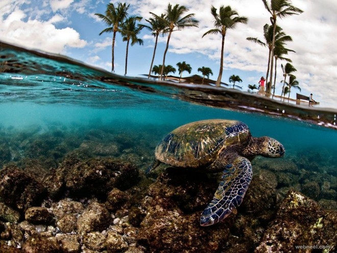 green sea turtle hawaii underwater photography