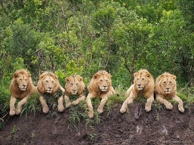 resting lions photography