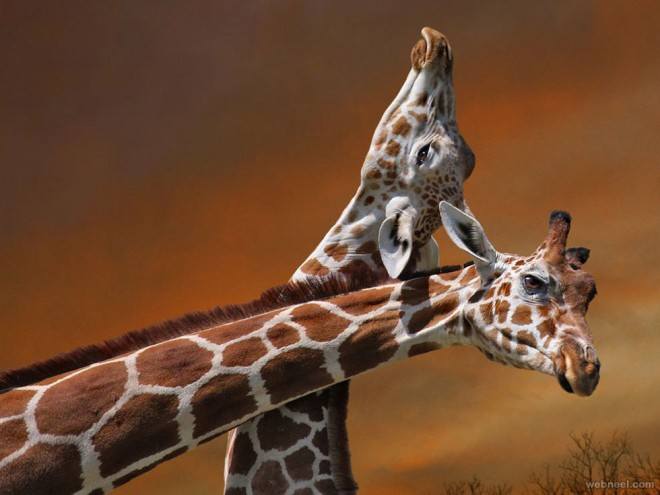 giraffe mother calf photography