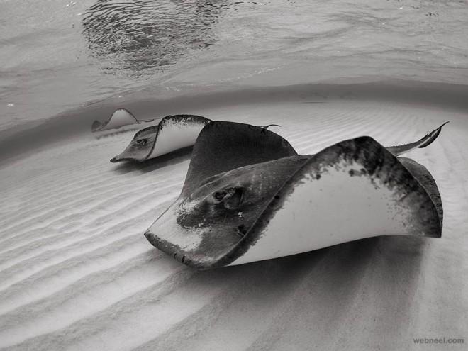 stingrays grand cayman underwater photography