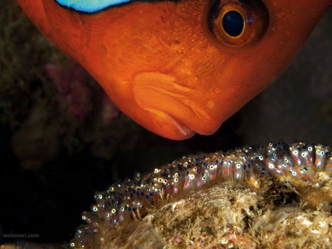 tomato clownfish underwater photography