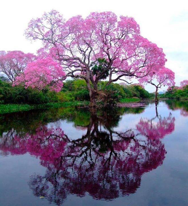 pink tree amazing nature reflections