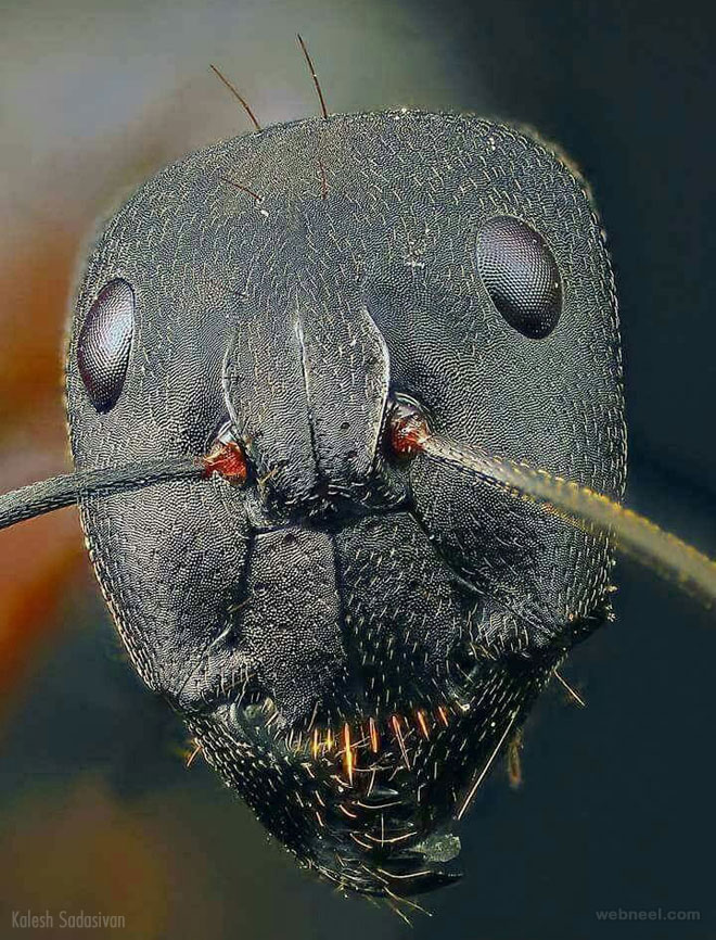 ant face macro photography by kaleshsadasivan