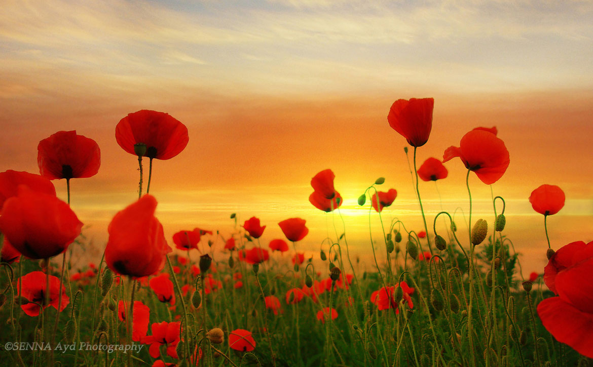 nature photography flower poppies by senna ayd