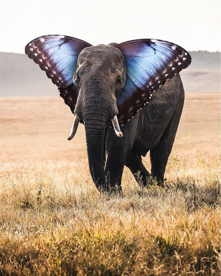 photo manipulation butterfly elephant