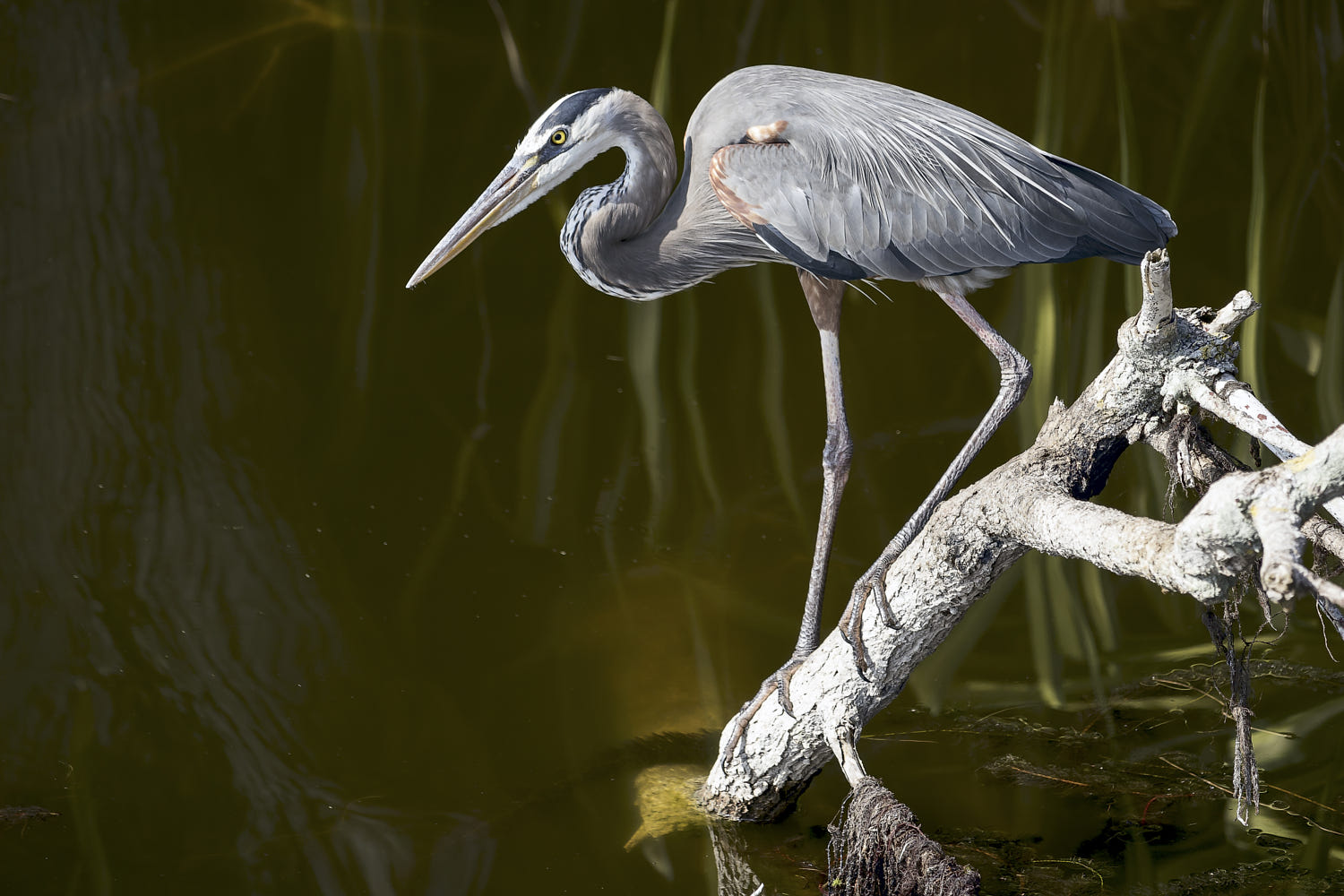 wildlife photography grey heron by andrea ricciardo