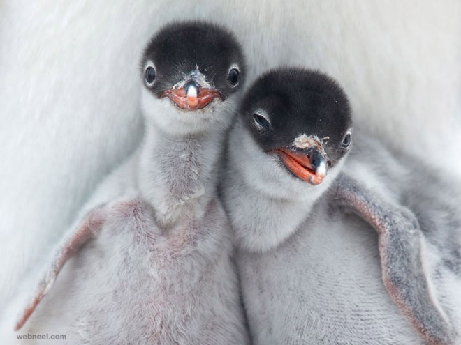 penguin chicks birds award winning photography