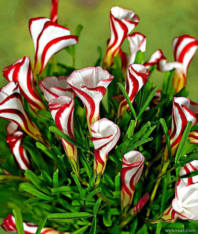 amazing flowers candy cane sorrel