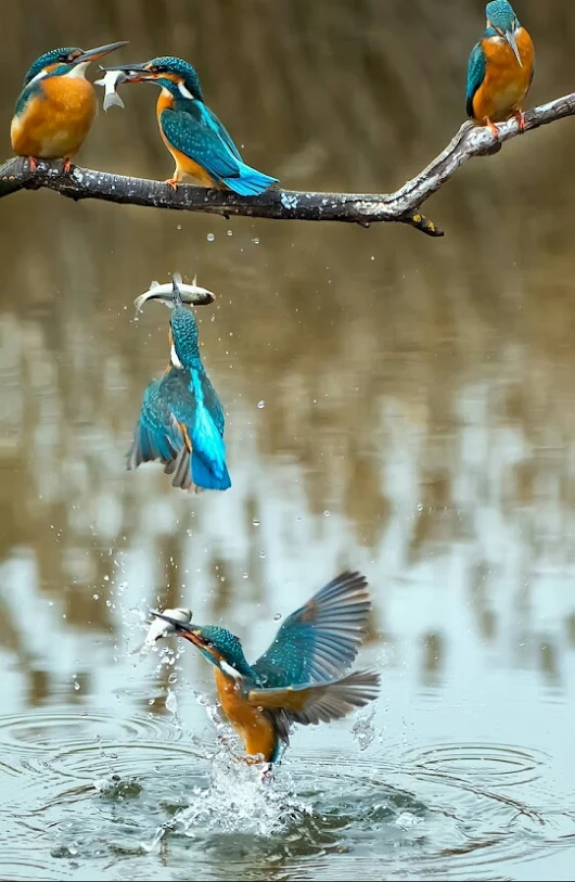 slow motion photography kingfisher