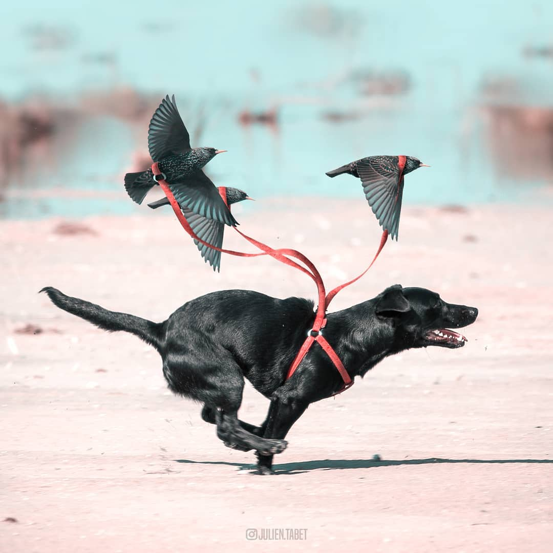 dog sleigh photoshop animal photo manipulation by julien tabet