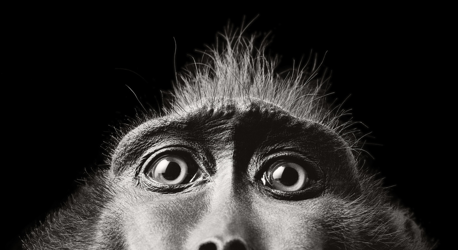 monkey black white photography by tim flach