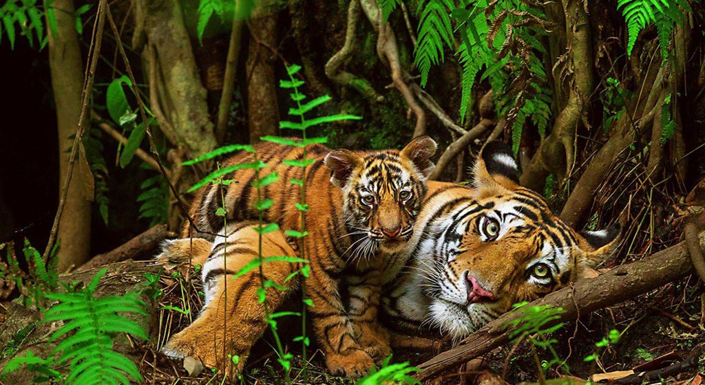 tiger wildlife photography by national geographic