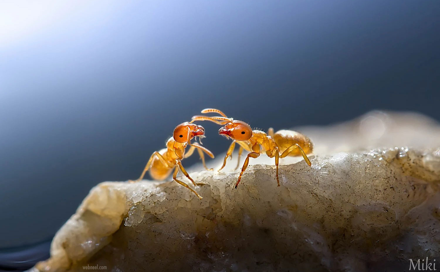 macro photography ants by miki asai