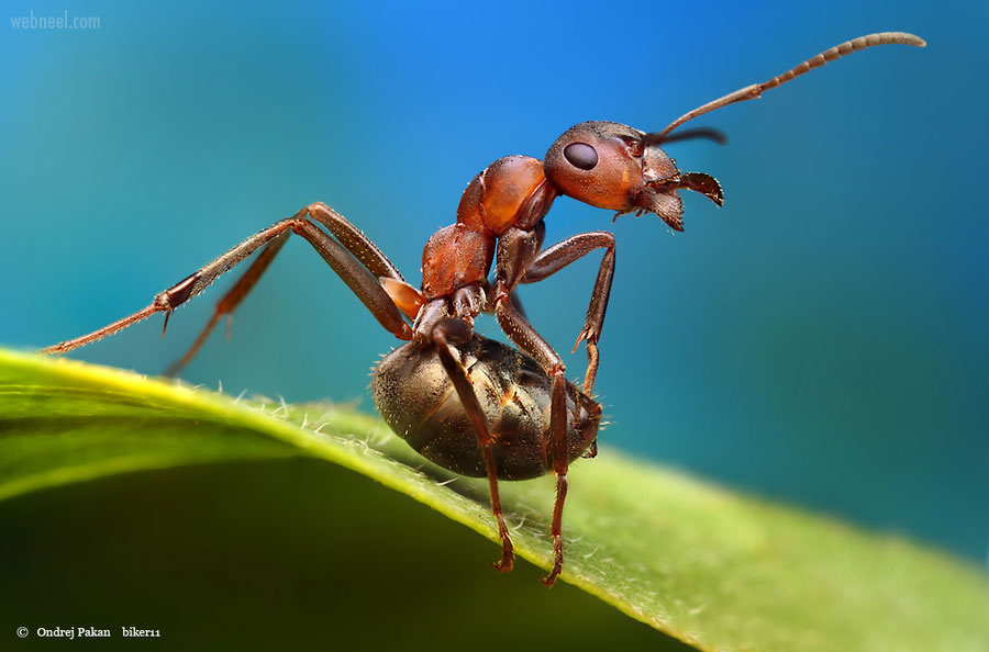 macro photography ant by ondrej