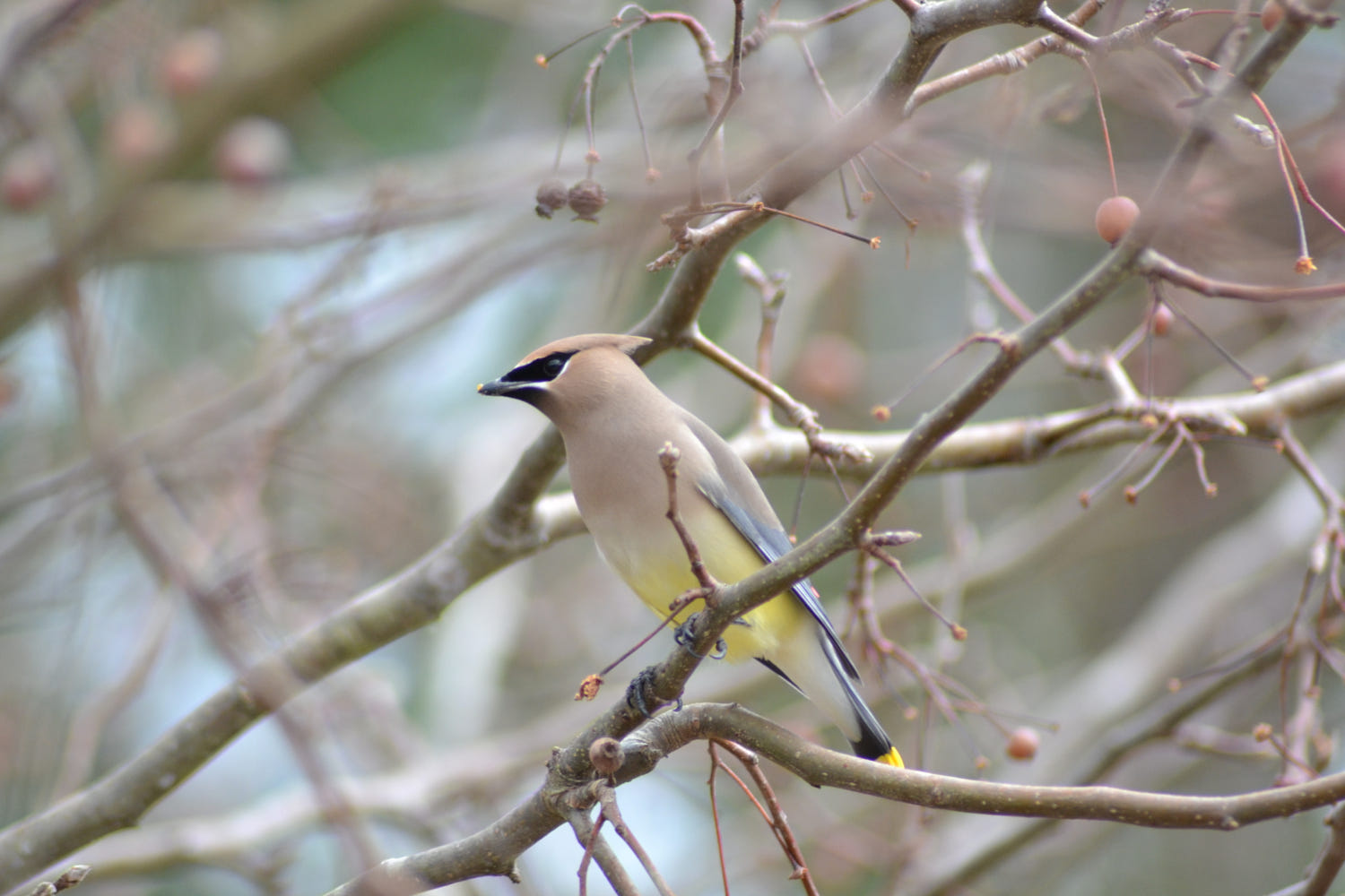 bird photography cedar waxwing afternoon by kevin horn sr