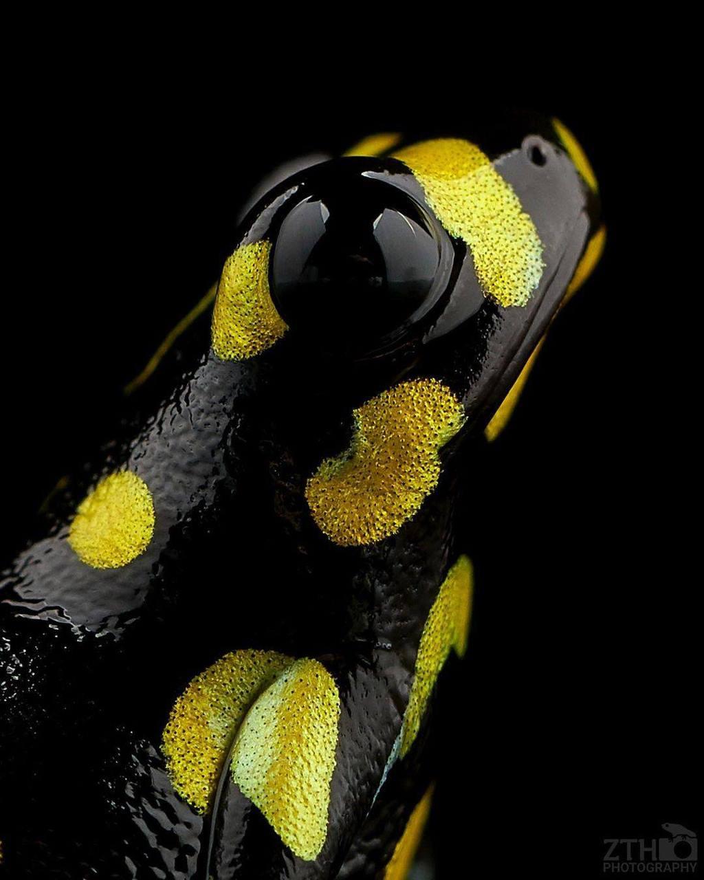 black frog wildlife photography dart by zth