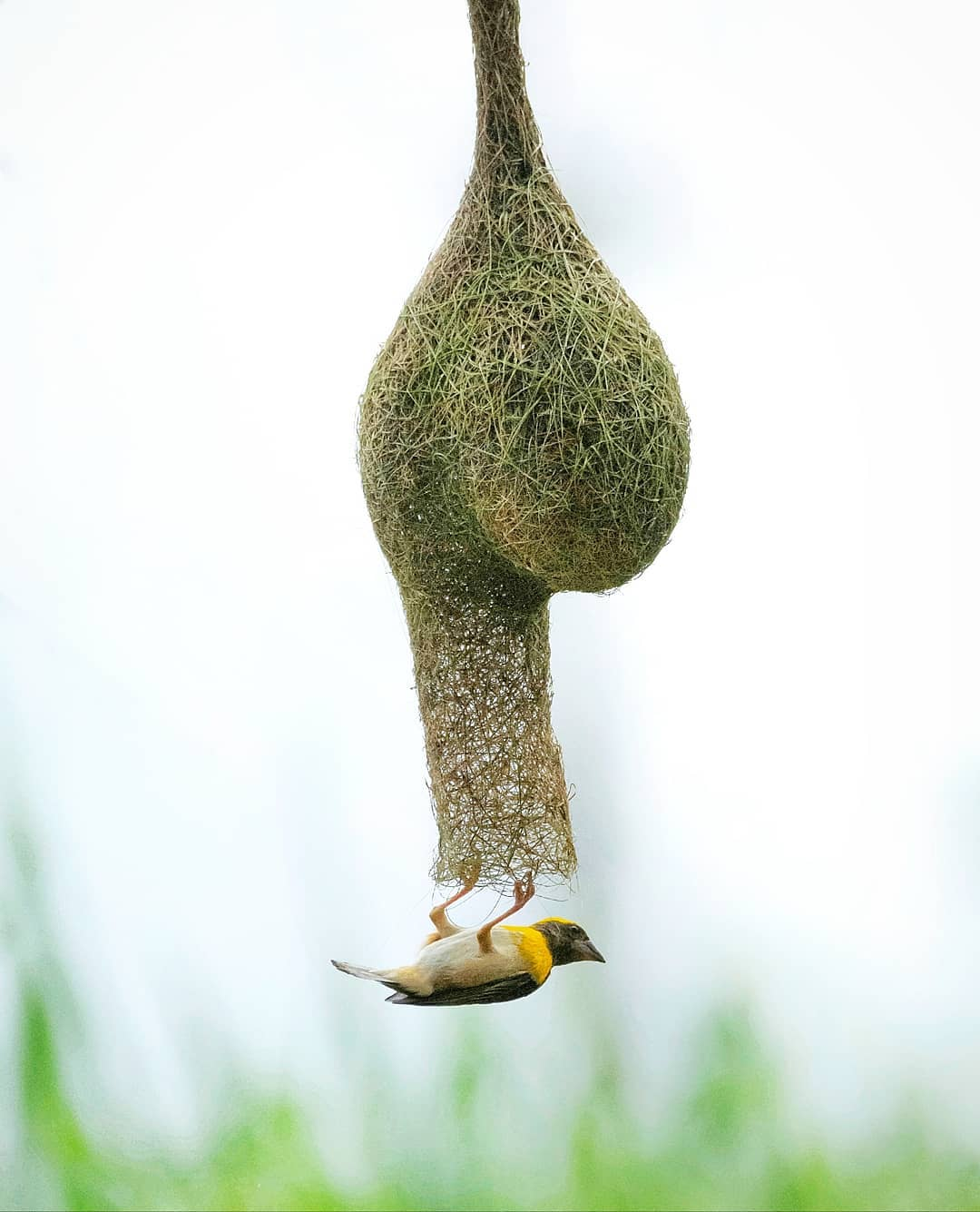 weaverbird nest bird photography by ameya marathe