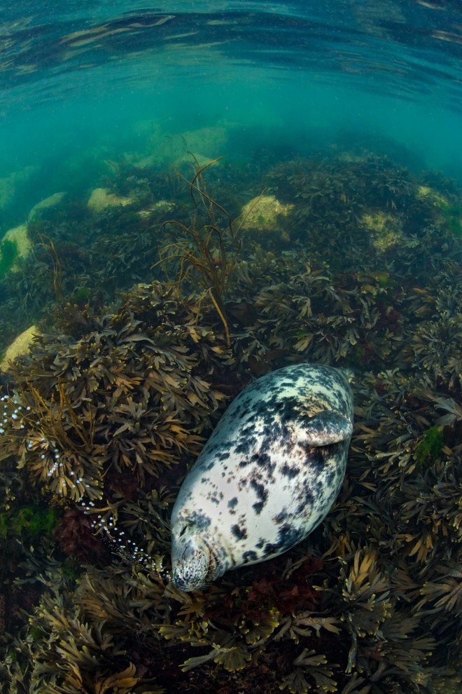 snoring seal british wildlife photography award by alex mustard