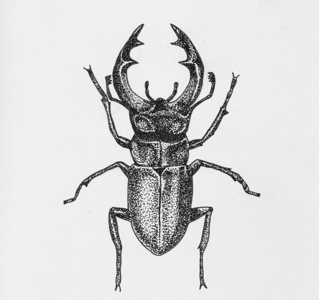 beetle scientific drawing by finn