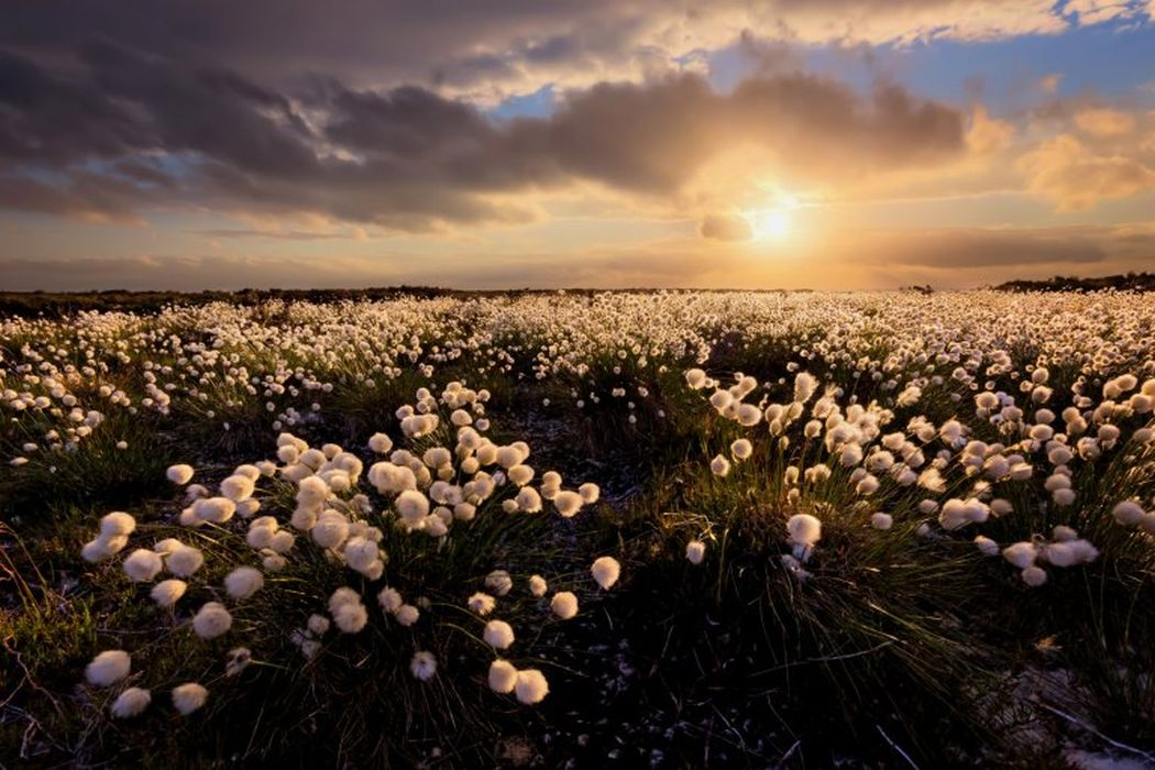 hare tail cotton grass international garden photographer by francis